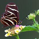 A neighborly butterfly by Anthony Goldman