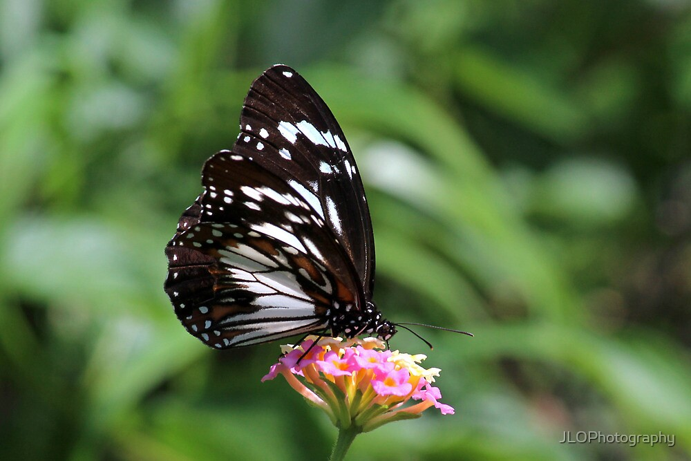 Swamp Tiger Butterfly by JLOPhotography