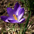 Pretty Purple Crocus. by Lee d'Entremont