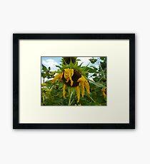 Scraggly Sunflower Framed Print