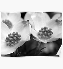 Dogwood Petals - B&W    ^ Poster