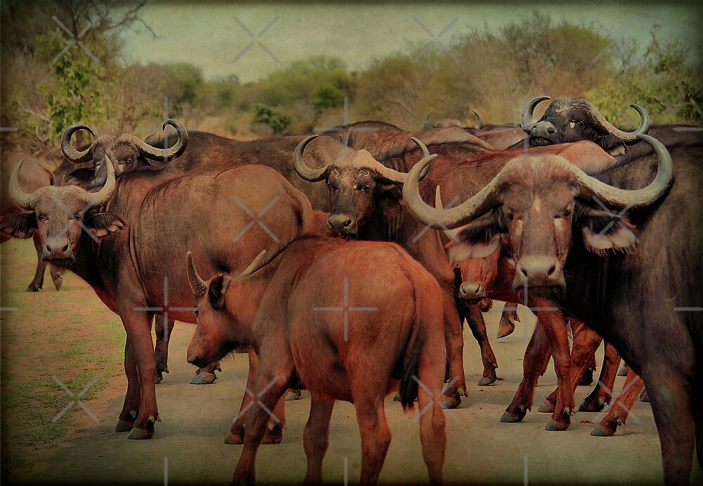 A BUFFALO GATHERING - The Buffalo - Syncerus caffer - BUFFEL by Magriet Meintjes