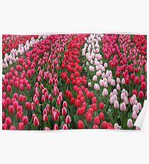 Keukenhof garden red tulips Poster
