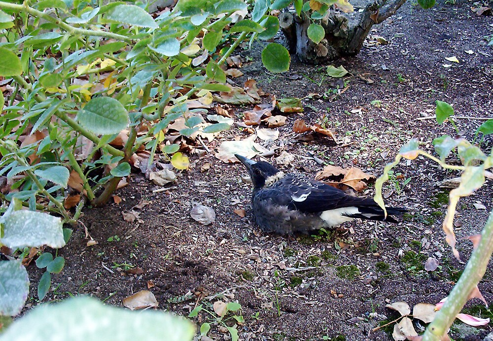 Vaguely An Observation Of Magpie Behaviour - 030413 by Robert Phillips