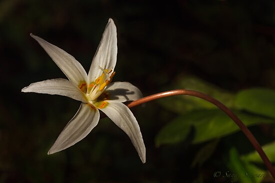 GIANT WHITE FAWN LILLY by Sandy Hill