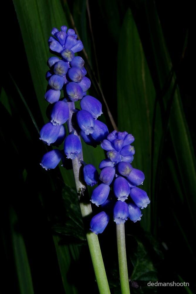 grape hyacinth in the grass by dedmanshootn