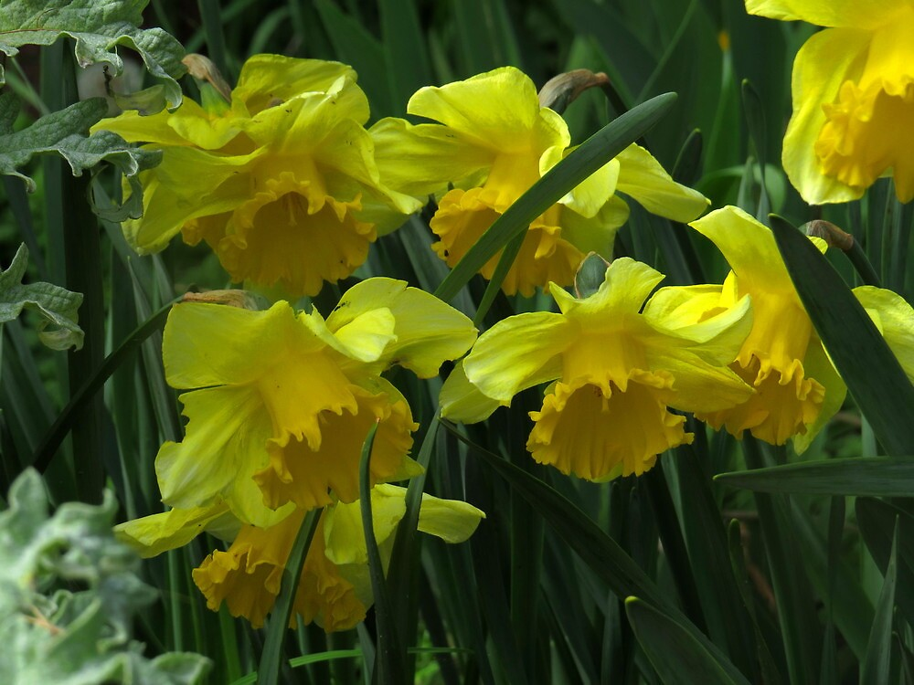 Easter daffodils by Alex Call