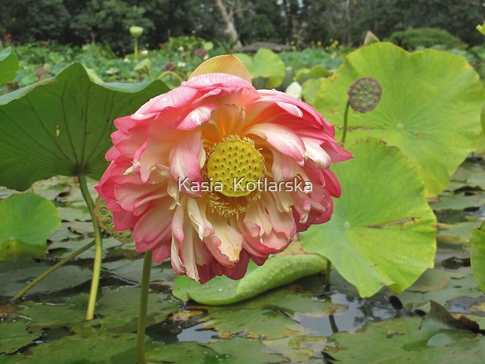 Lovely lotus  by Kasia  Kotlarska
