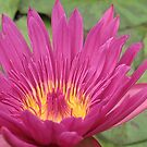Lovely water lily by Kasia  Kotlarska