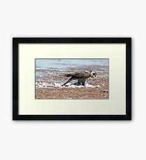 Peregrene Falcon Framed Print
