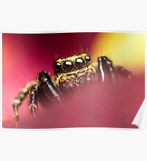 Pseudeuophrys lanigera male jumping spider photo Poster