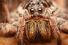 Wolf spider extreme macro portrait by Mario Cehulic