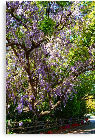 Wisteria in a Tree by Ronald Hannah