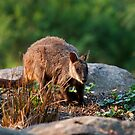 Rock Wallaby by margotk