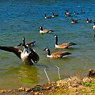 Geese Sitting on Lake by michaelasamples