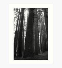 Californian Redwoods Art Print