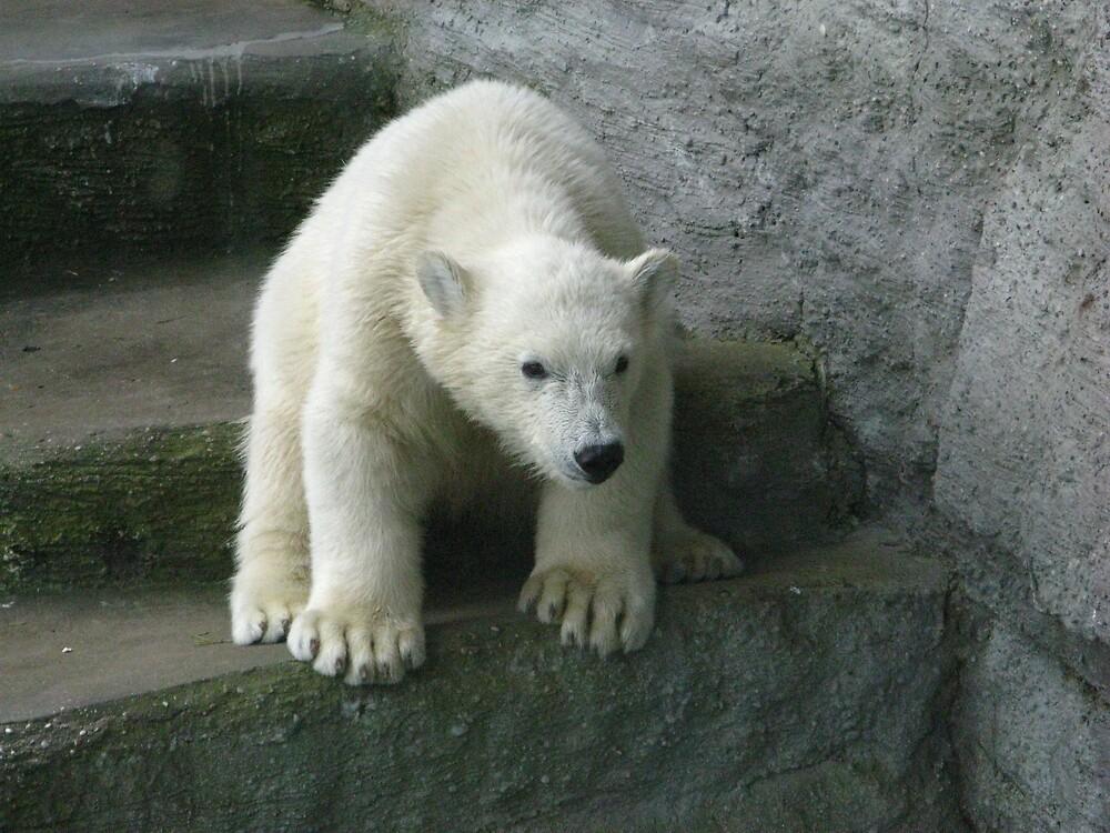 Polar Bear Cub by Stephen Oravec