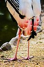 Pink Tail Feathers by Ravi Chandra