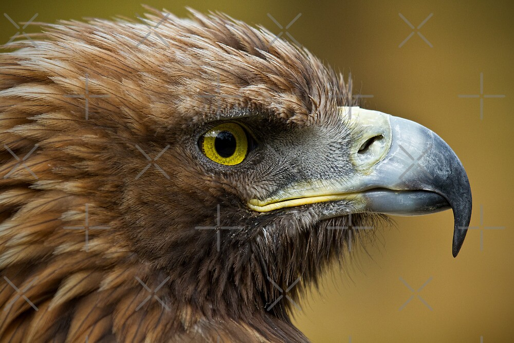 Portrait of a Golden Eagle by alan tunnicliffe