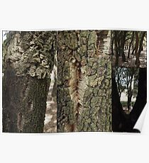 Cork Oak Trees Canberra ACT Poster