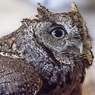 The Grey Screech Owl by gharris