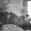 Hens  by InaMaria