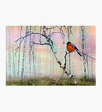 Bullfinch On Birch Photographic Print