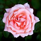 Pink Rose 2 by Jane-in-Colour