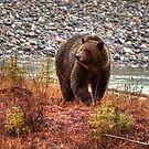Kootenay Grizzly by James Anderson