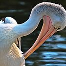 Pelican at Healesville by Tom Newman