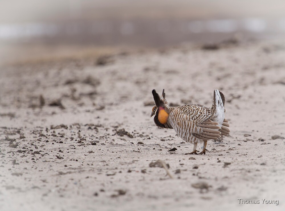 Prairie Chicken 2013-1  by Thomas Young