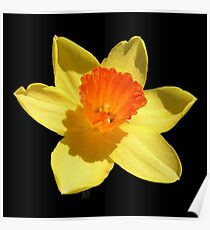 Spring Daffodil Isolated On Black Poster
