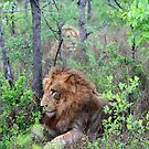 Lions in the bushes by Anthony Goldman