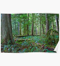 Cathedral Grove - Ancient Forest Poster