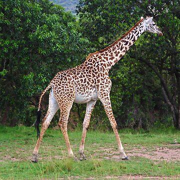 Giraffe - Masai Mara - Kenya by Charuhas