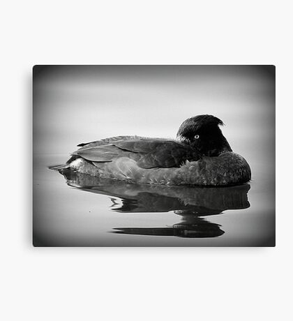 Tufted Duck  Canvas Print