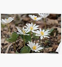 Bloodroot Wildflower - Sanguinaria canadensis Poster