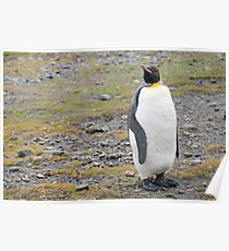 King Penguin in South Georgia Poster