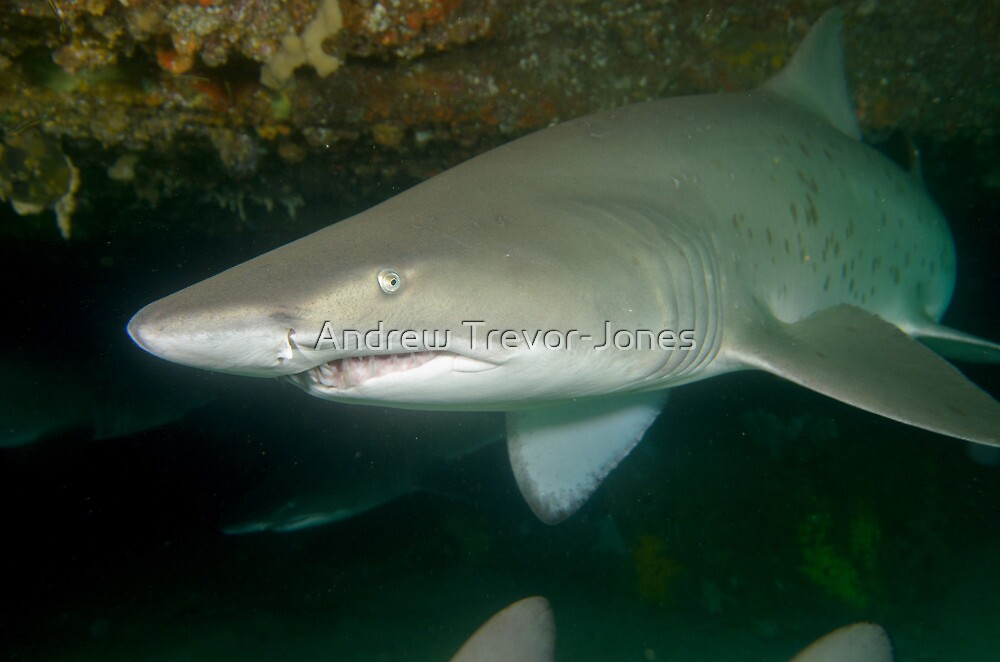 Grey nurse shark - Carcharias taurus by Andrew Trevor-Jones