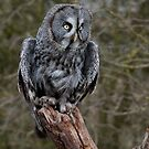 Great Grey Owl. by Delboy10