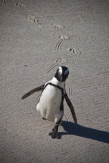 Penguin at Simons Town by paulbonnitcha