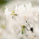 Whisper of White - Dallas Blooms by Glenna Walker