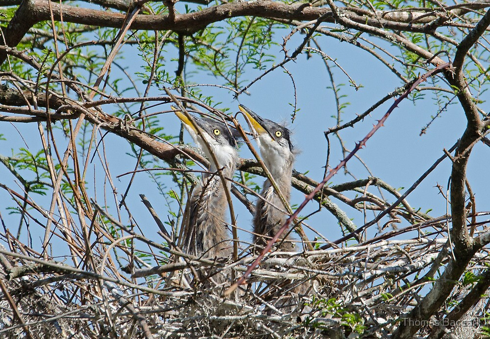 Great Blue Heron Babies waiting for Mother Return by TJ Baccari Photography