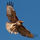 Juvenile Red Tailed Hawk by Marvin Collins