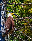 American Bald Eagle-Digital Oil by Paul Wolf