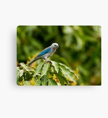 Blu-grey Tanager Canvas Print