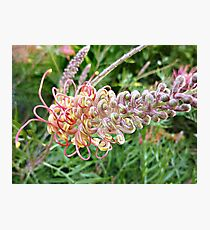 Grevillea  unfolding - always a star Photographic Print