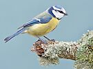 Blue Tit by Alan Forder