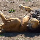 Laughing Lion by Luann wilslef
