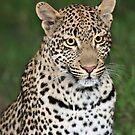 The Tutlwa leopard by Anthony Goldman